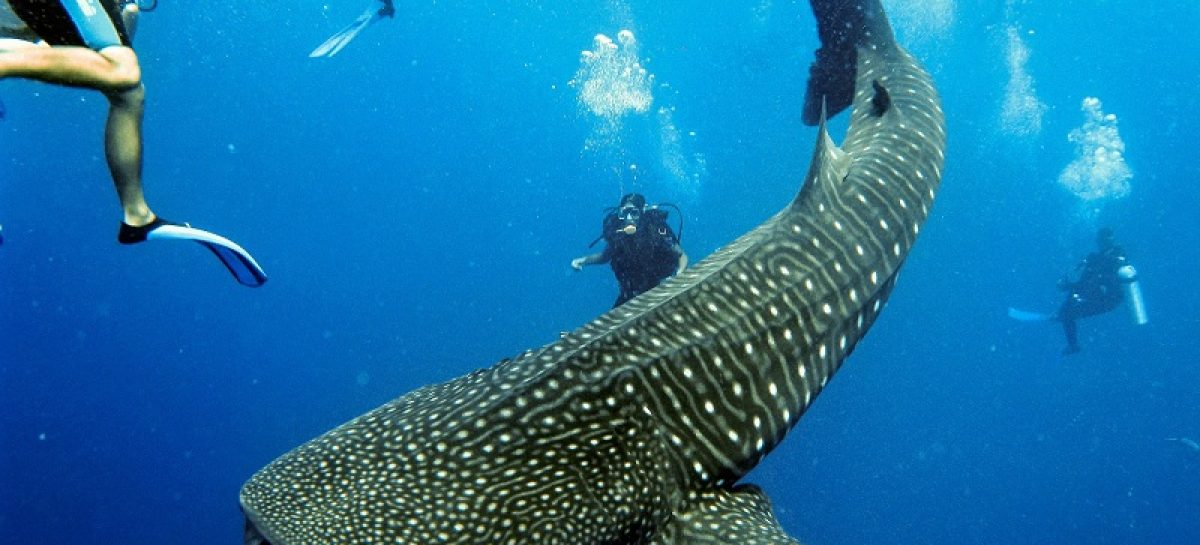 The Most Exciting Snorkeling adventure with Whale Sharks